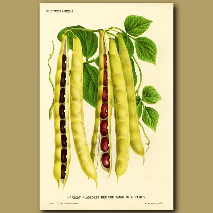 Antique print. Haricot beans