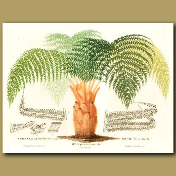 Antique print. Regal Tree Fern (Double sized print)