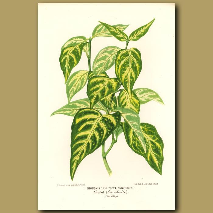 Antique print. Bignonia