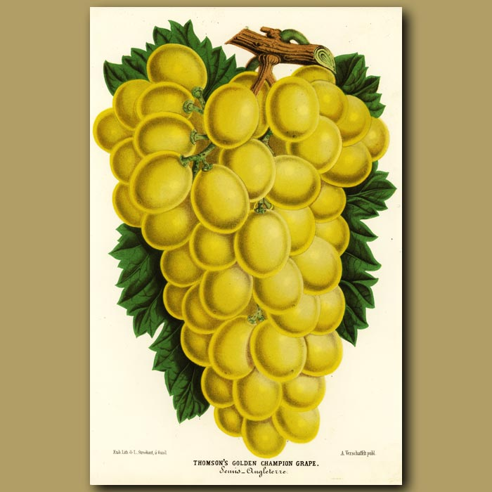Antique print. Golden grapes
