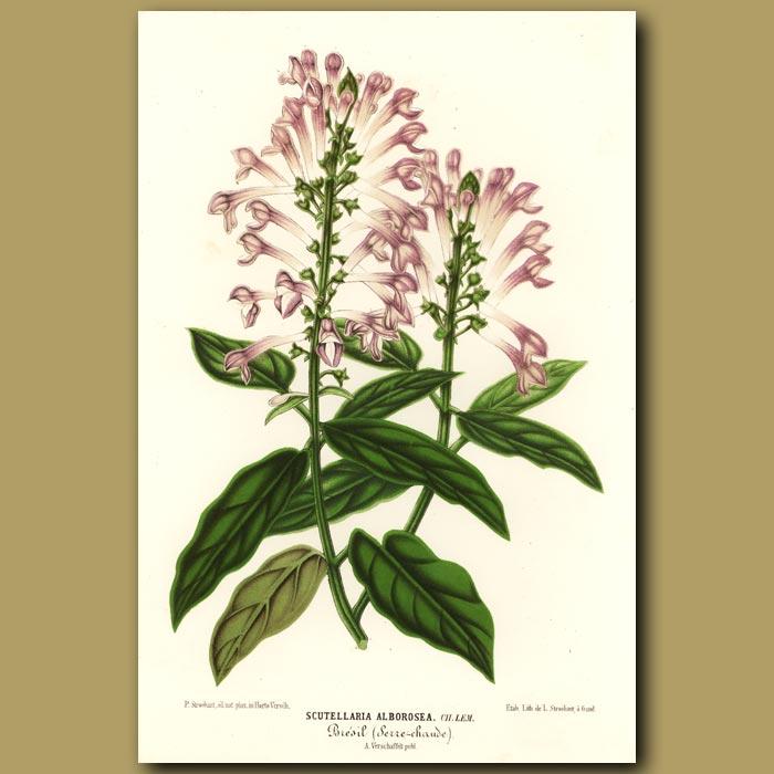 Antique print. Trumpet flowers