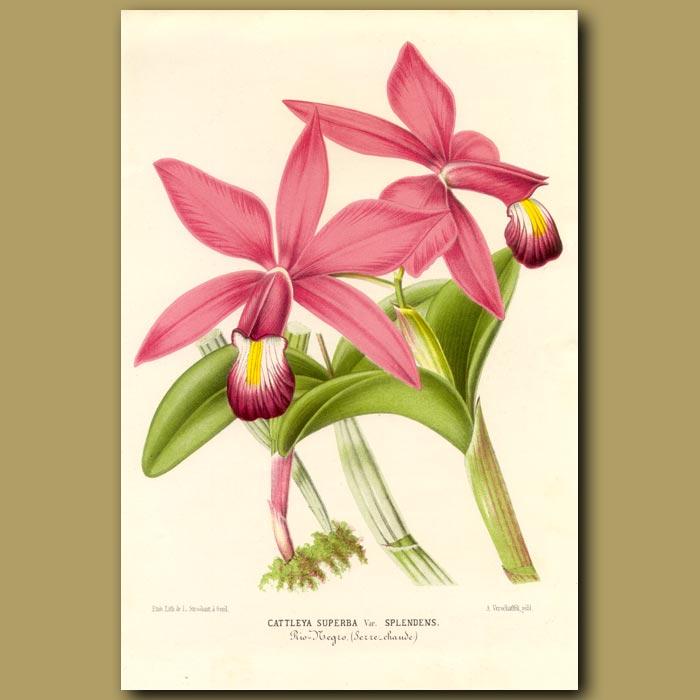 Antique print. Cattleya Superba orchid