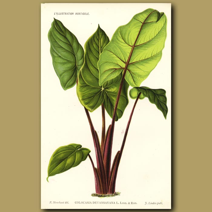 Antique print. Colocasia