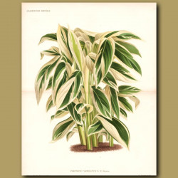 Ornamental Ginger (double sized print)