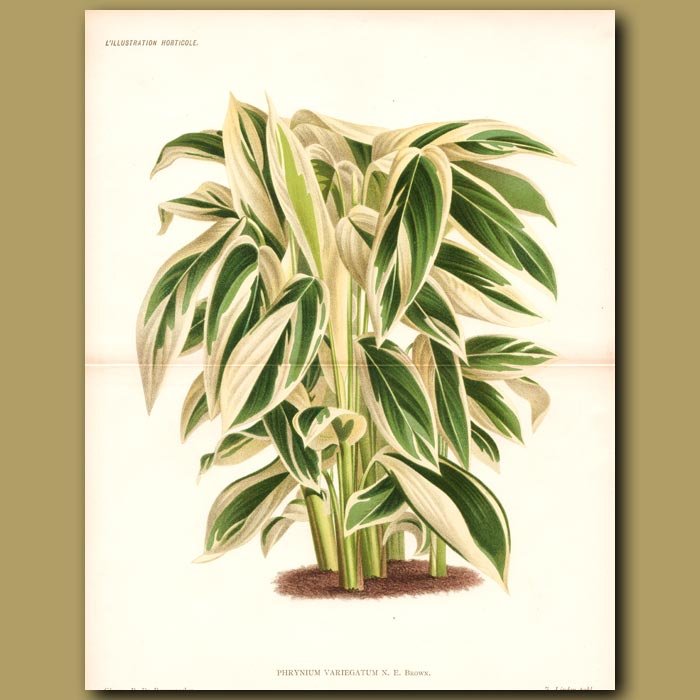 Antique print. Ornamental Ginger (double sized print)