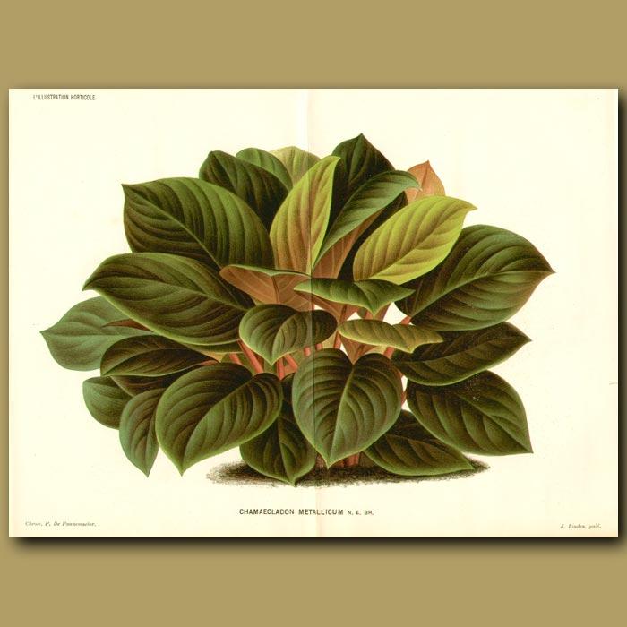 Antique print. Araceae