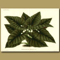 Black Velvet Taro or Imperial Alocasia (double sized print)