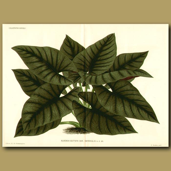 Antique print. Black Velvet Taro or Imperial Alocasia (double sized print)