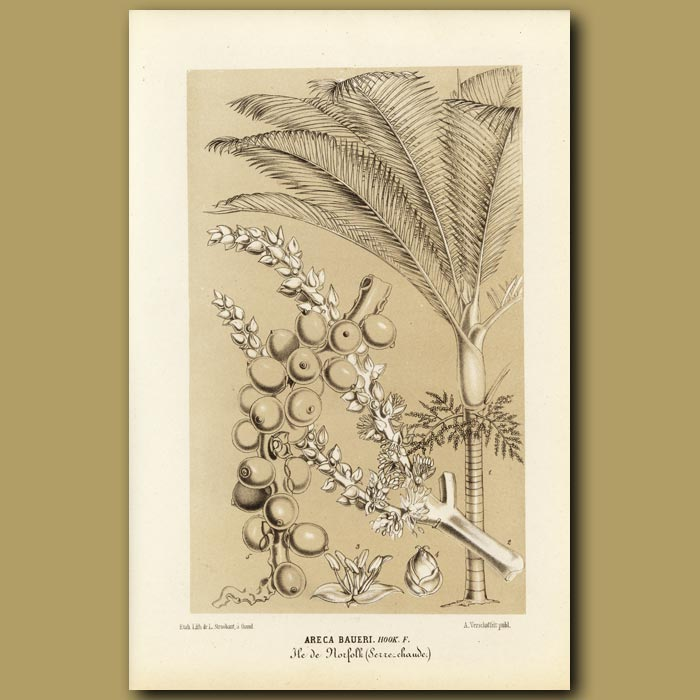 Antique print. Palm Tree and fruit