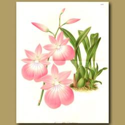 Orchid Cattleya Chocoensis