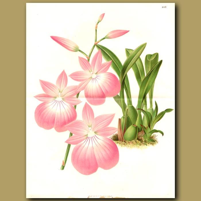 Antique print. Orchid Cattleya Chocoensis