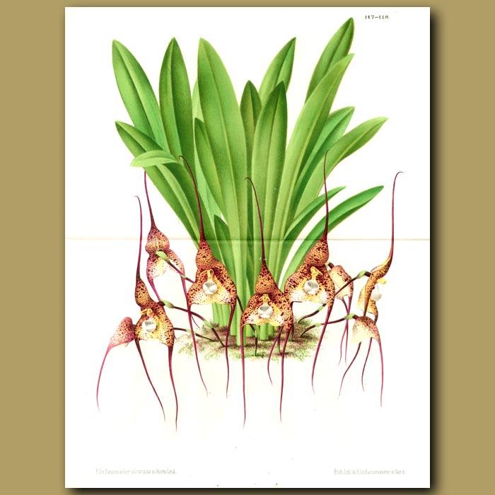 Antique print. Orchid Masdevallia Chimaera