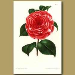 Camellia Don Carlos Ferdinando