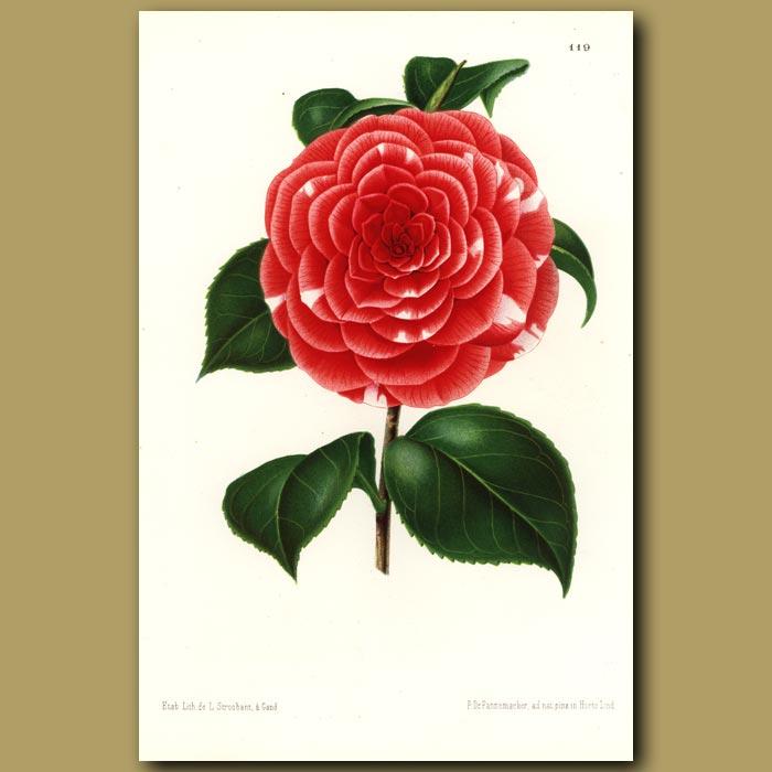 Antique print. Camellia Don Carlos Ferdinando