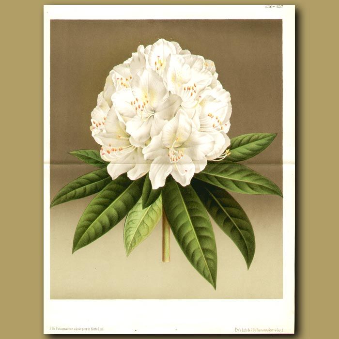 Antique print. Rhododendron (double sized print)
