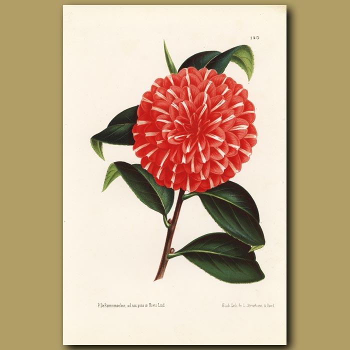 Antique print. Camellia Berta Gigliolo