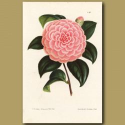 Camellia Caprioli