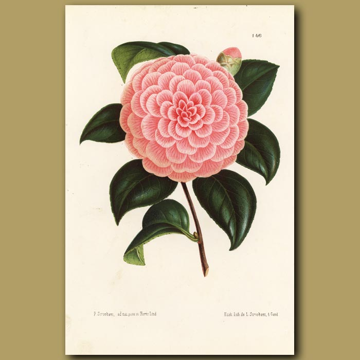 Antique print. Camellia Caprioli