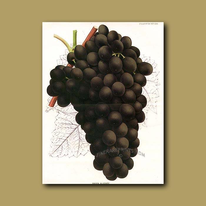Antique print. Spanish Grapes (double sized print)
