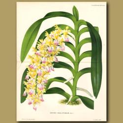 Orchid. Aerides Houlletianum