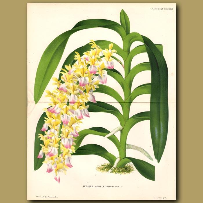 Antique print. Orchid. Aerides Houlletianum
