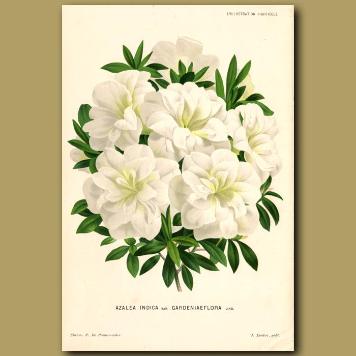 Antique print. Azalea Indica Var Gardieniaeflora