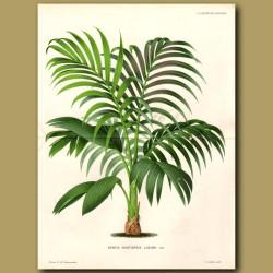 Kentia Palm Tree. Kentia Luciani