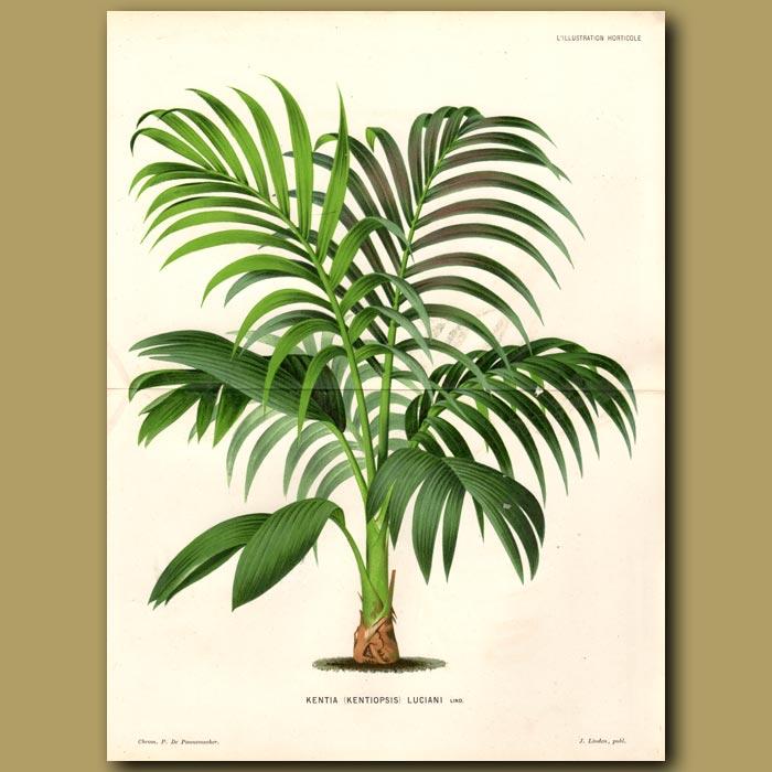 Antique print. Kentia Palm Tree. Kentia Luciani