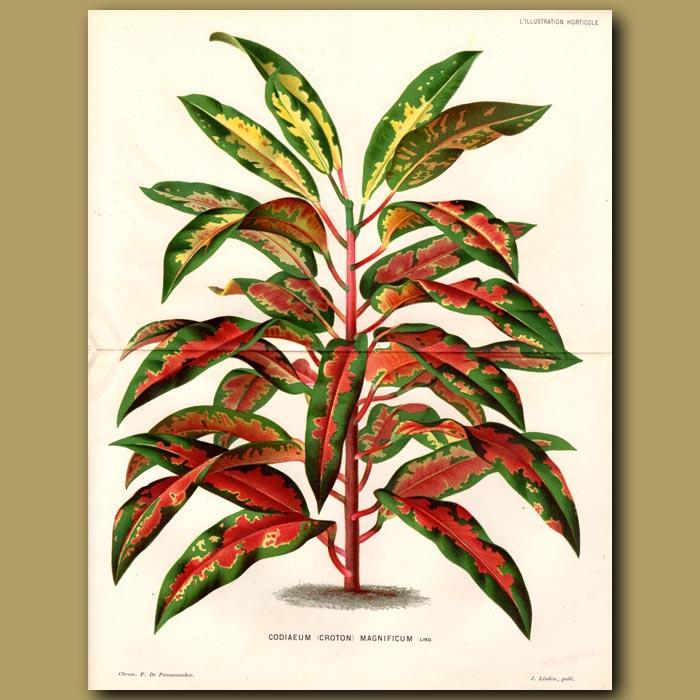 Antique print. Tropical Plant. Codiaeum Magnificum