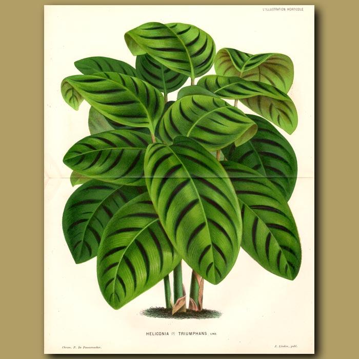 Antique print. Heliconia Triumphans