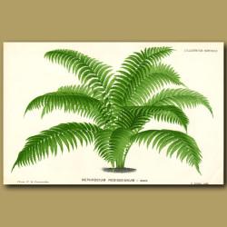 Samoan Fern. Nephrodium Rodigasianum