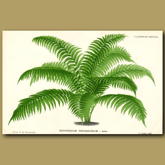 Antique print. Samoan Fern. Nephrodium Rodigasianum