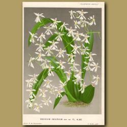 The Bent Orchid. Oncidium Incurvum