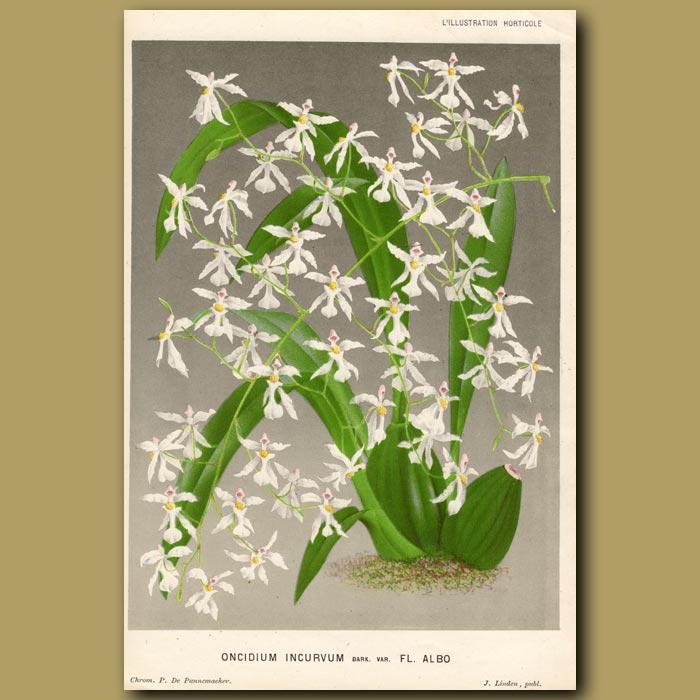 Antique print. The Bent Orchid. Oncidium Incurvum