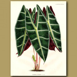 Alocasia - Kris plant (double sized print)