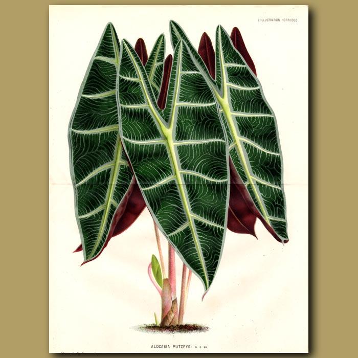 Antique print. Alocasia - Kris plant (double sized print)