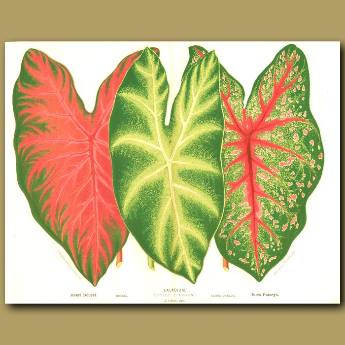 Antique print. Colorful Caladiums (double sized print)