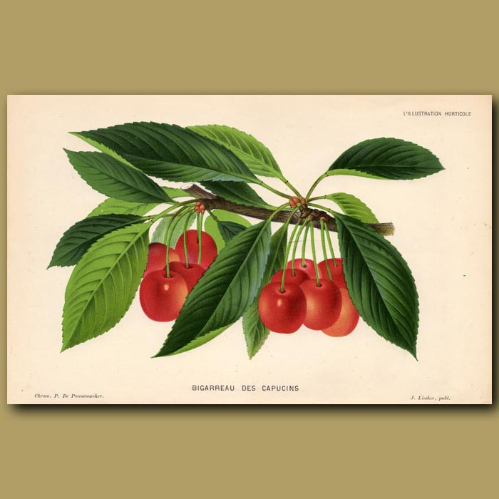 Antique print. Cherries. Bigarreau Des Capucins