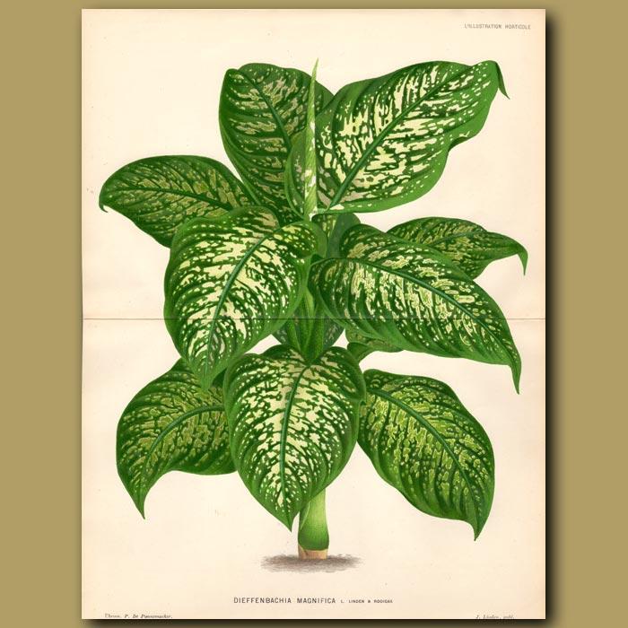 Antique print. Leopard Lily. Deiffenbachia Magnifica