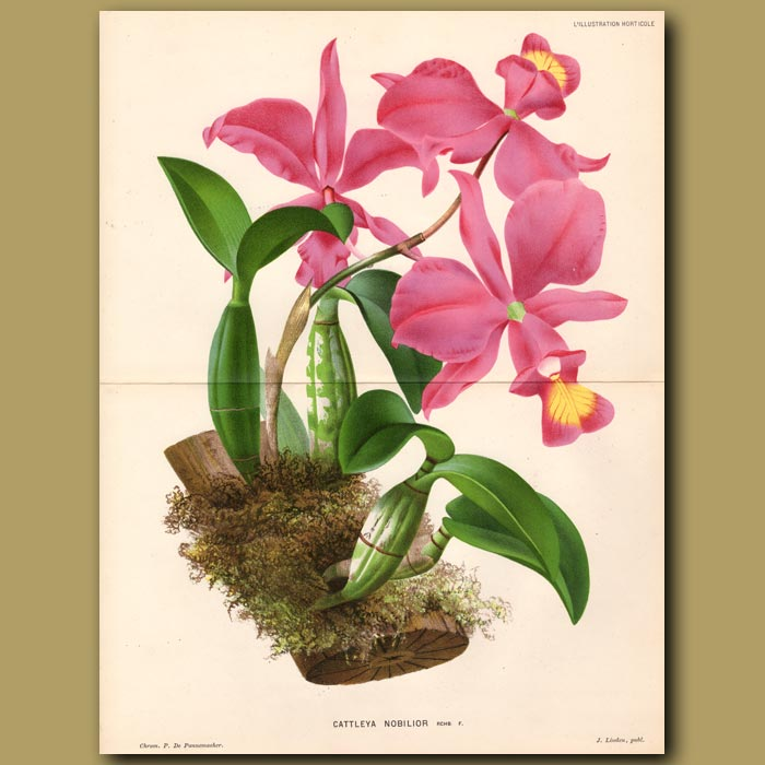 Antique print. Orchid. Cattleya Nobilior