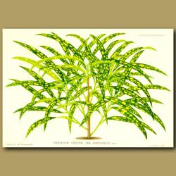 Codiaeum (Croton) Van Ossterzeei
