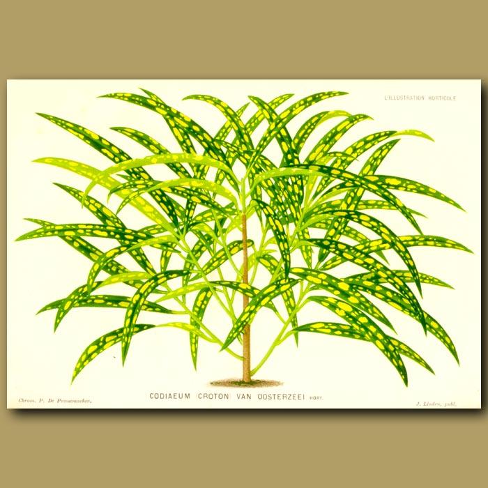 Antique print. Codiaeum (Croton) Van Ossterzeei