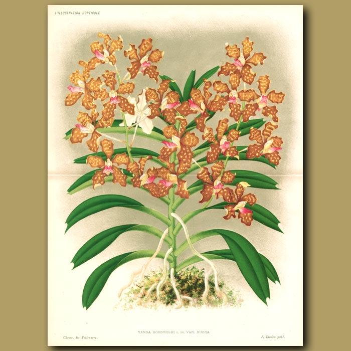 Antique print. Orchid Vanda Roxburghi