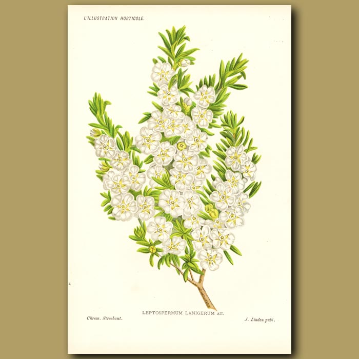 Antique print. Tea Tree (source of famous Manuka honey)