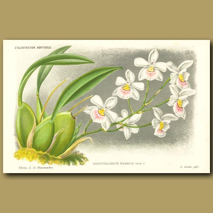 Antique print. Orchid
