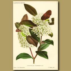 Toxicophlaea thunbergi