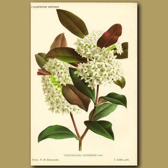 Antique print. Toxicophlaea thunbergi