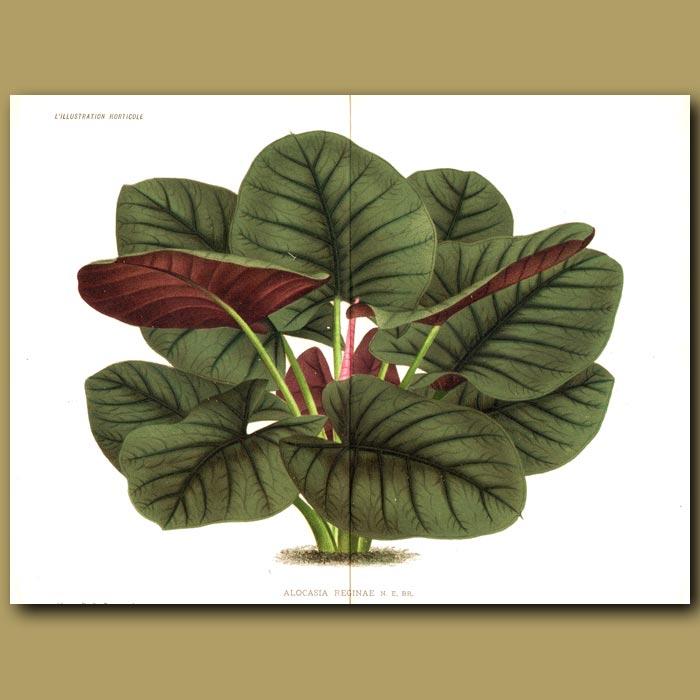 Antique print. Alocasia - Kris plant