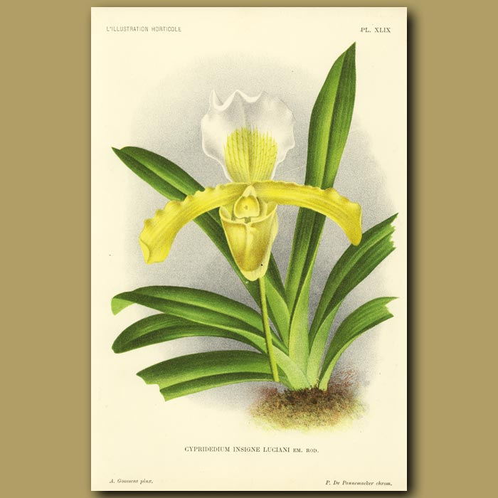 Antique print. Lady's Slipper Orchid
