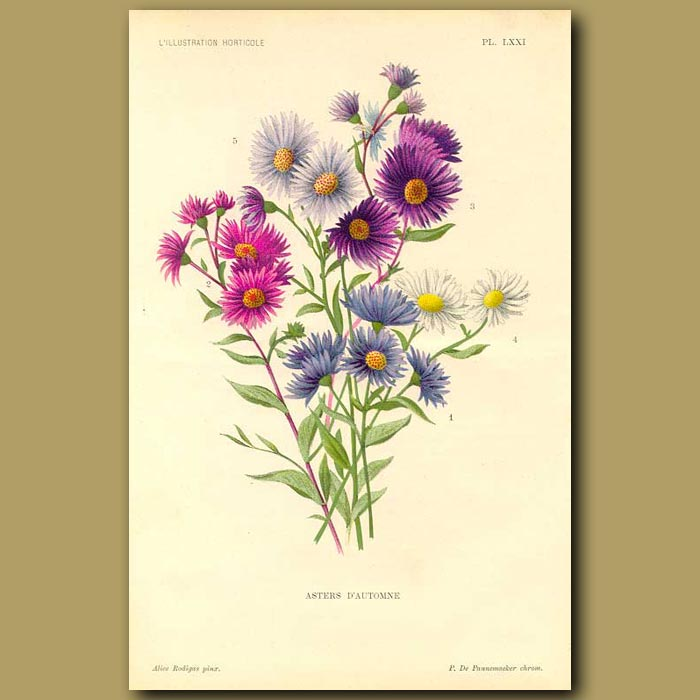 Antique print. Bouquet of Aster flowers